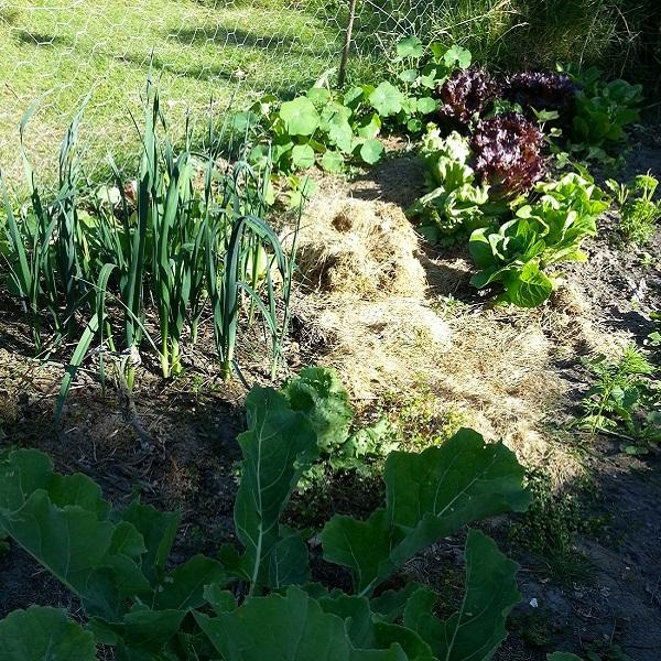 Frühjahr im Permakultur-Garten - mit Ewigem Kohl im Vordergrund und Lauch und Salat im Hintergrund