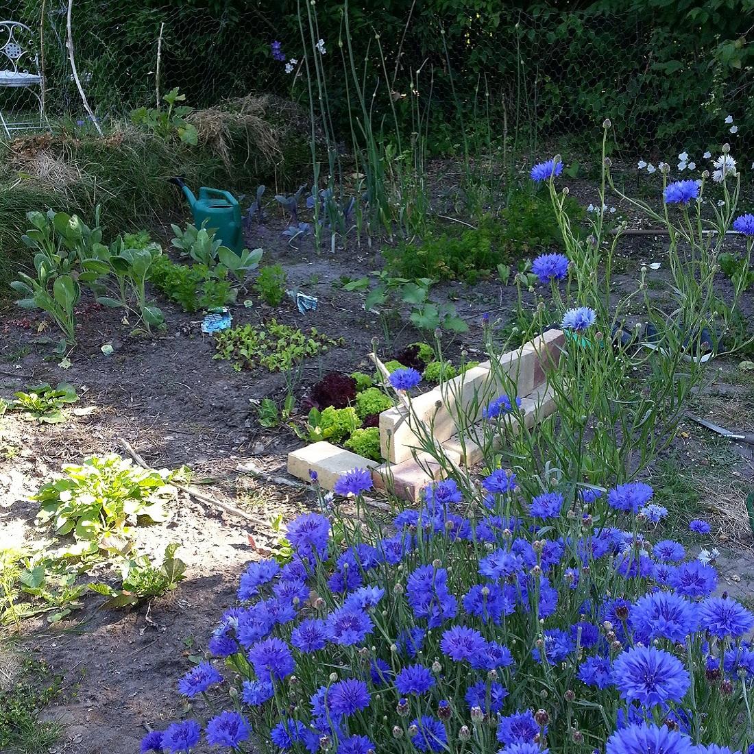 Frühjahr im Permakultur-Garten von The Raw Kitchen - mit Kornblumen (essbar!), Salat und überwintertem Lauch