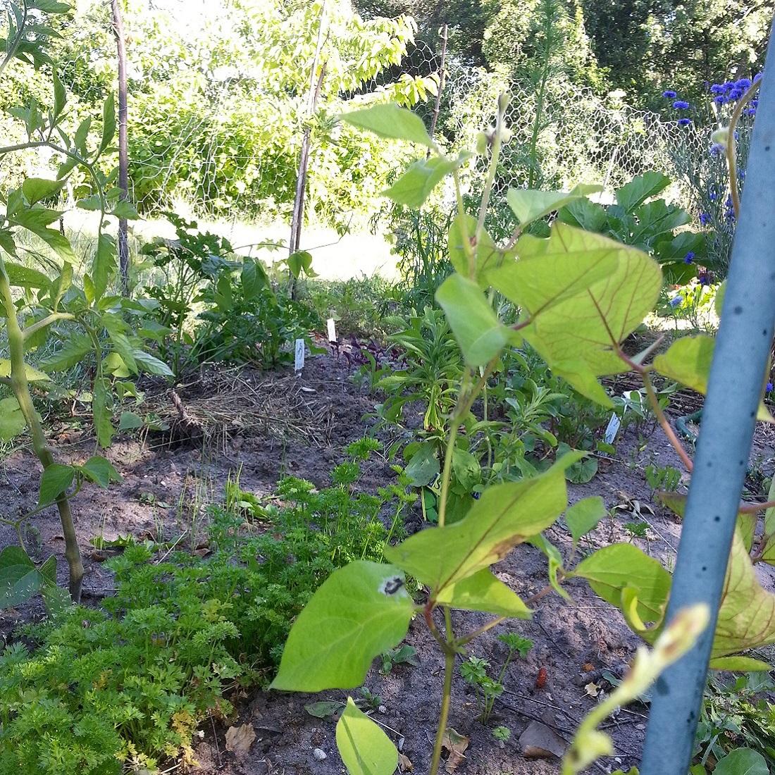 Frühjahr im Permakultur-Garten von The Raw Kitchen - Bohnen und Petersilie