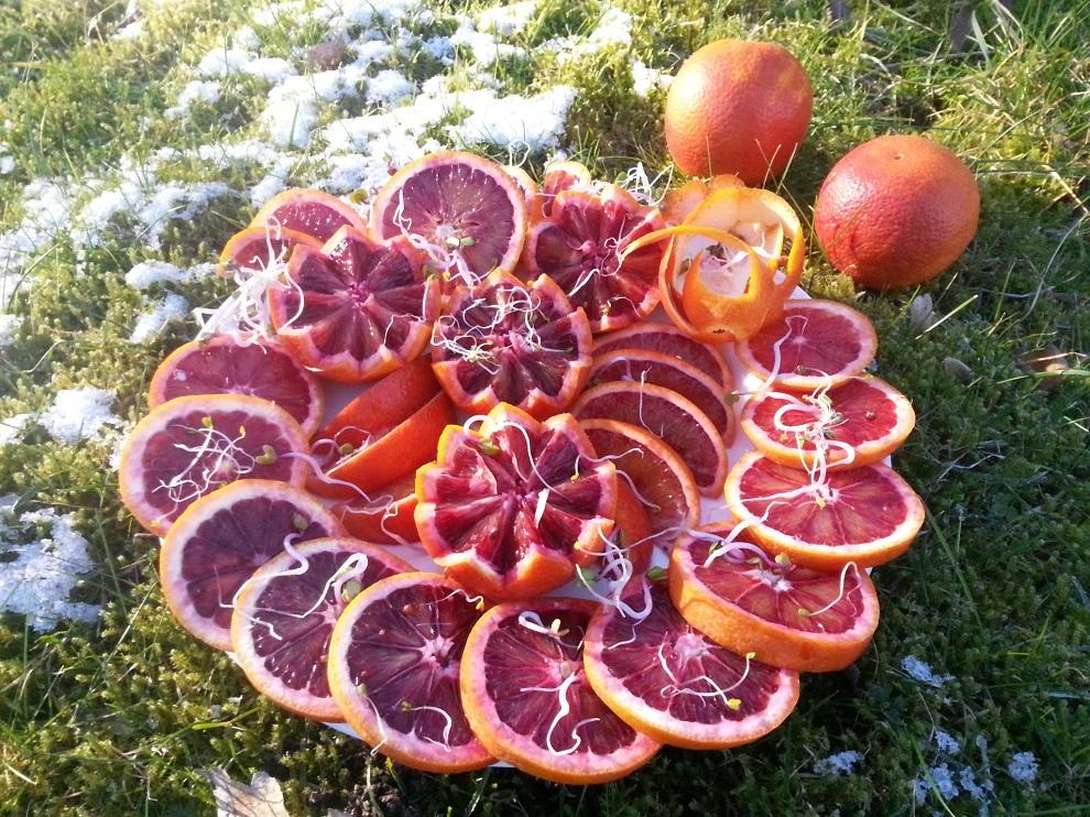 """Blutorangen sind sehr aromatisch - aber es gibt sie nur im Winter, denn sie brauchen grosse Temperaturunterschiede zwischen Tag- und Nachttemperaturen, um ihre wertvollen roten Farbstoffe entwickeln zu können. Also gibt es bei mir derzeit nur Blutorangen, keine """"normalen"""" Orangen."""