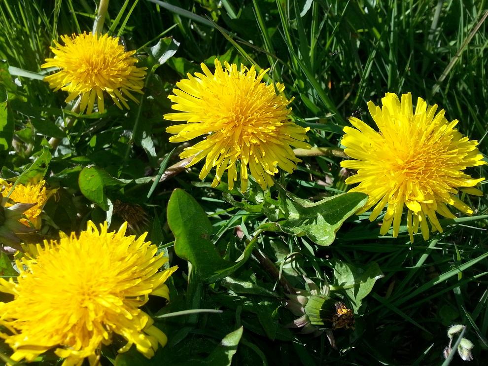 Es gibt so viele gute Gründe, Wildkräuter zu essen! Die Lebenskraft des Löwenzahns beispielsweise steckt in allen Teilen der Pflanze - im satten, dunklen Grün der Blätter, die voller Chlorophyll sind, in den medizinisch sehr interessanten Löwenzahnwurzeln und in den Blüten!