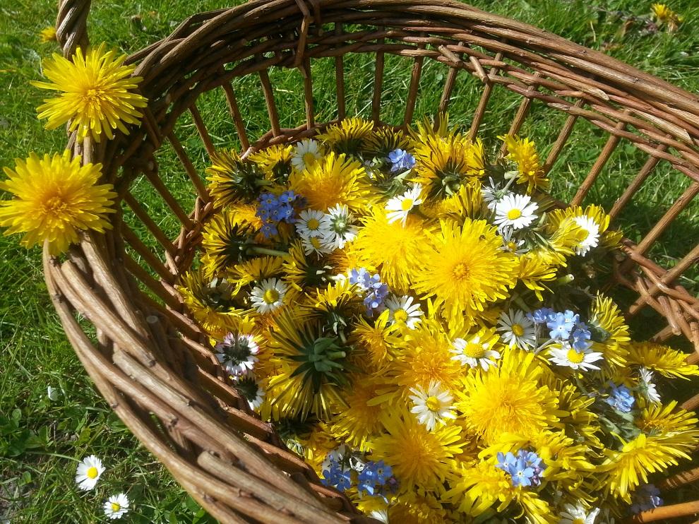 Löwenzahnblüten, ein paar Gänseblümchen und ein paar hellblaue Vergissmeinnicht - ich habe sie für Tee an kalten Wintertagen getrocknet :-)