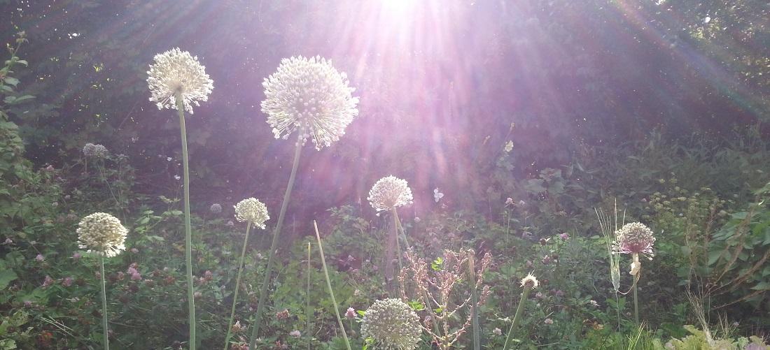 Blühender Lauch in der Abendsonne