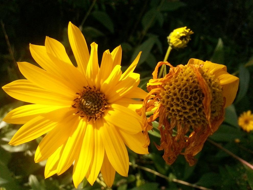 Von der Knospe zur Blüte zum heranreifenden Fruchtstand ... die Natur ist ein immerwährendes Wachsen - Blühen - Reifen - Verwelken ...