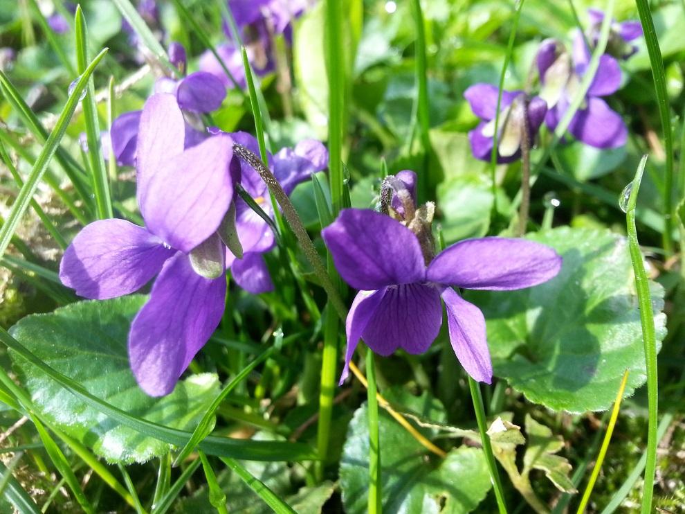 Lila-violette Farbtöne werden in der Signaturenlehre mit dem geistig-psychischen Bereich in Verbindung gebracht. Und tatsächlich heisst es, dass Veilchen fröhlich machen und stimmungsaufhellend wirken :-)