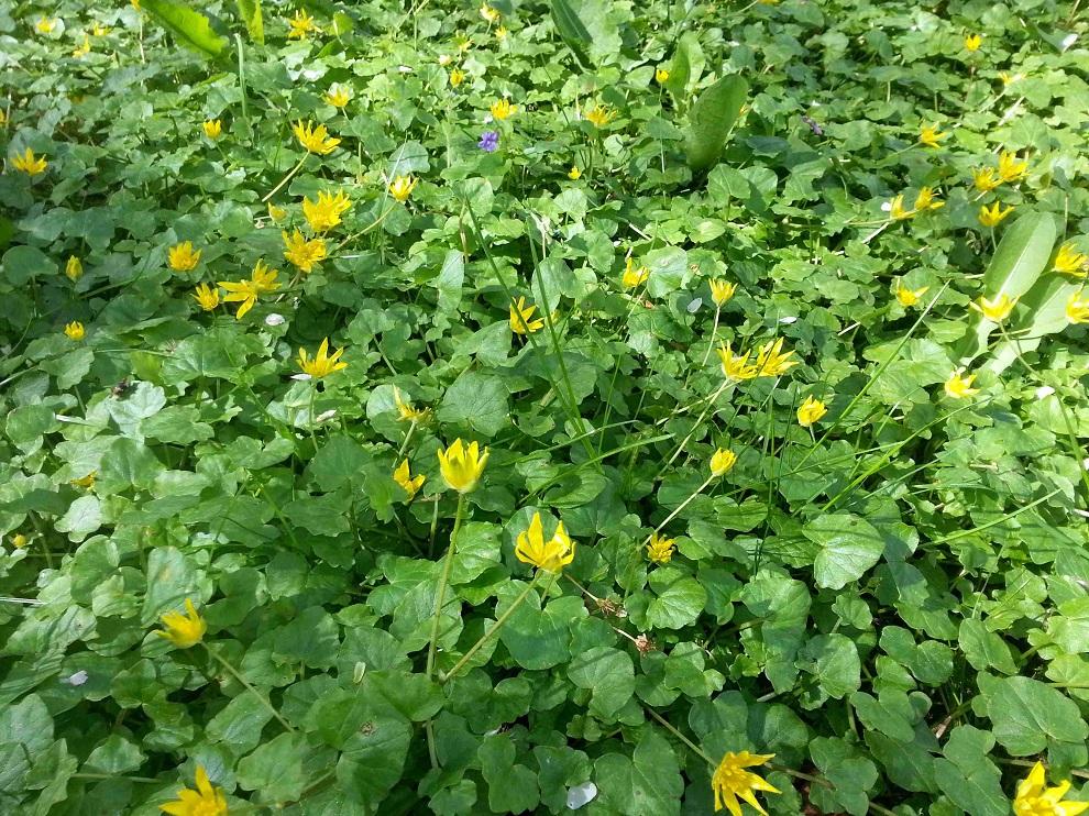 Scharbockskraut - Feigwurz - Ranunculus ficaria