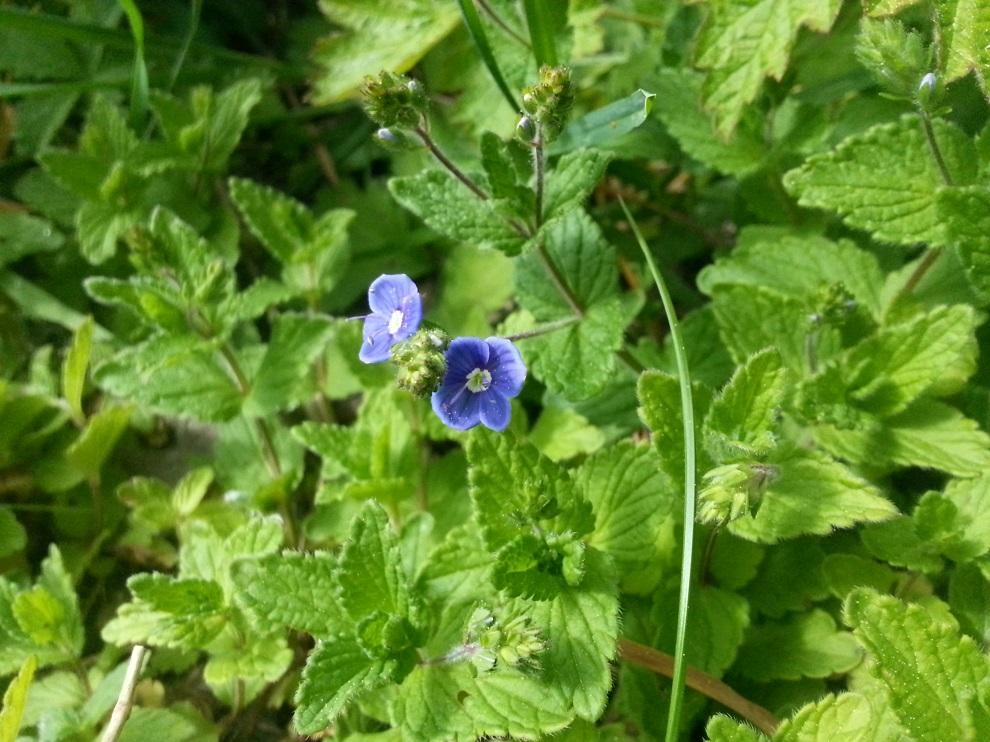 """Der Ehrenpreis gehört zu meinen absoluten Wildkräuter-Lieblingen. Es gibt bei uns mehrere Ehrenpreis-Arten, und wenn du ihm im Garten """"Natur"""" bietest, werden sich diese Arten gerne bei dir ansiedeln. Ehrenpreis schmeckt sehr gut und verzaubert mit seinen blauen Blüten jedes Wildkräuter-Gericht :-)"""