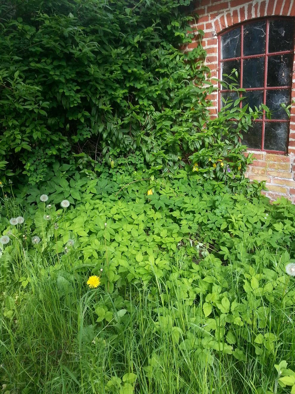 Hier fühlt sich der Giersch sichtlich wohl - und das darf er auch, denn so habe ich monatelang frisches Grün für Rohkostsalate, Smooties und frischgepresste grüne Säfte :-)